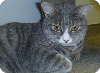 Domestic Shorthair Cat for adoption in Hamburg, New York - Peter