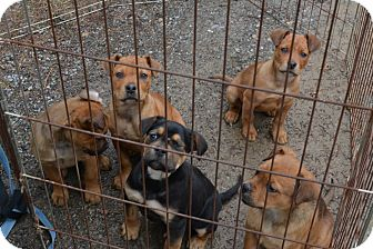 Freedom Pa Boxer Meet Boxerrottie Mix Pups A Pet For Adoption