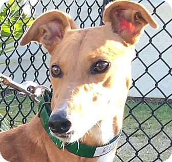 Greyhound Dog for adoption in Longwood, Florida - Rubi Smoken Hot