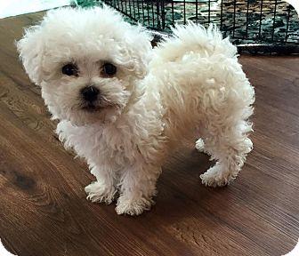 Troy Mi Miniature Poodle Meet Chloe A Pet For Adoption