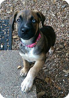 Labrador Retriever/Australian Shepherd Mix Dog for adoption in Bedminster, New Jersey - Tahoe