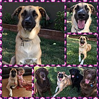 Adopt A Pet :: Harley - Simi Valley/Ventura County, CA