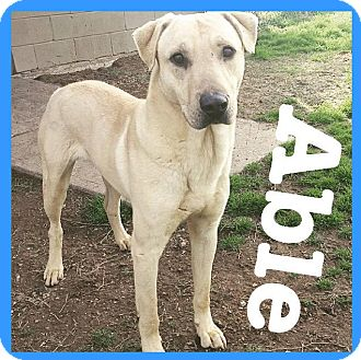 Labrador Retriever Mix Dog for adoption in Royse City, Texas - Able