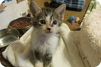 Domestic Shorthair Kitten for adoption in Acme, Pennsylvania - NOLAN