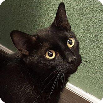 Domestic Shorthair Cat for adoption in Las Vegas, Nevada - Squeak