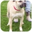 Photo 1 - Staffordshire Bull Terrier Mix Dog for adoption in Somerset, Pennsylvania - Baily
