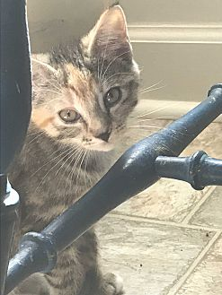 Adopt A Pet :: GiGi  - Snow Hill, NC