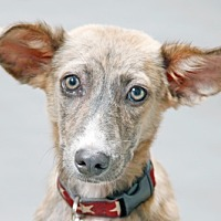 Adopt A Pet :: Tara Lynne - Austin, TX