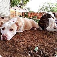 Adopt A Pet :: DELILAH - Irving, TX