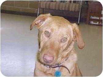 Labrador Retriever Mix Dog for adoption in Burnsville, North Carolina - GoldieLocks