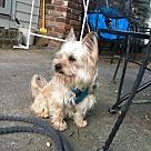 Adopt A Pet :: Little Benji