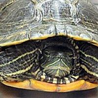 Turtle - Other for adoption in Wildomar, California - SPEEDY