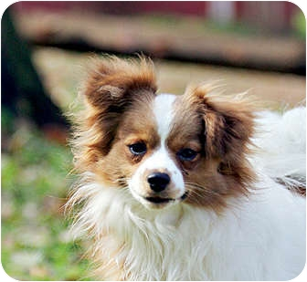 King Charles Pomeranian Mix