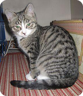 Domestic Shorthair Kitten for adoption in N. Billerica, Massachusetts - Cameron
