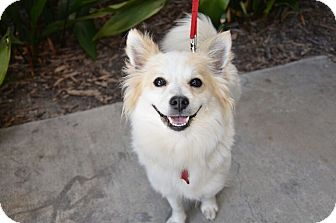 Encino Ca American Eskimo Dog Meet Lisa A Pet For Adoption
