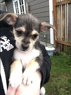 Adopt A Pet :: Sal  - Renton, WA