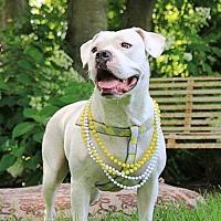 Adopt A Pet :: Schoopy - Whites Creek, TN