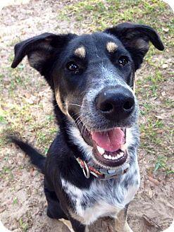 German Shepherd Dog/Australian Shepherd Mix Dog for adoption in Grand Bay, Alabama - Chase
