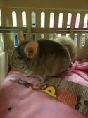 Adopt a Pet :: Clyde - Cleveland, OH -  Chinchilla/Chinchilla Mix