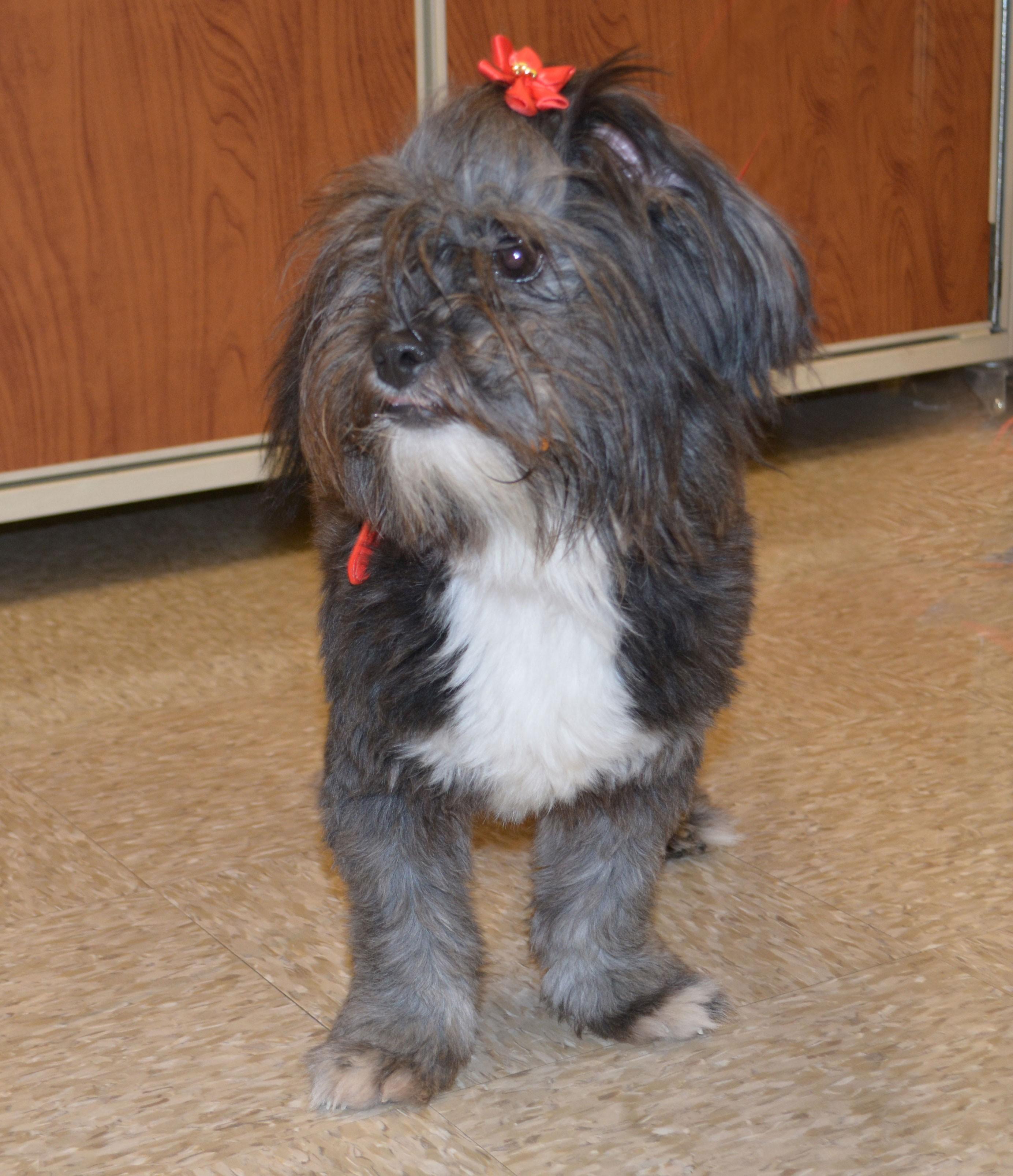 Plano Tx Shih Tzu Meet Carson Sweet Female Shih Tzu A Pet For Adoption