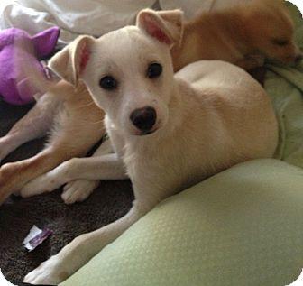 Encino, CA - Labrador Retriever  Meet Sprite a Pet for Adoption