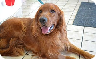 Knoxvillle Tn Golden Retriever Meet Kipper A Pet For Adoption