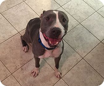American Staffordshire Terrier Dog for adoption in Leesburg, Florida - Kendall