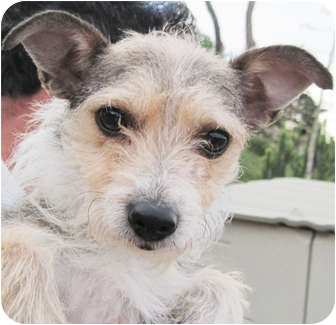 Airedale Terrier/Yorkie, Yorkshire Terrier Mix Dog for adoption in Poway, California - Nikki