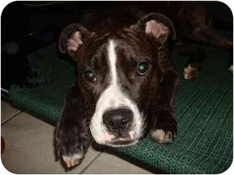 American Pit Bull Terrier/Boxer Mix Dog for adoption in Edgewater, New Jersey - Romeo