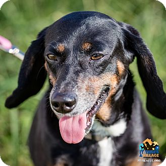 Dachshund Mix Dog for adoption in Evansville, Indiana - Sooner