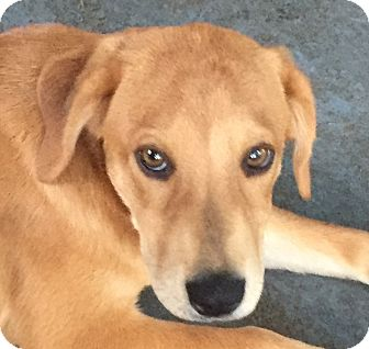 Labrador Retriever/Golden Retriever Mix Puppy for adoption in Cincinatti, Ohio - Harper