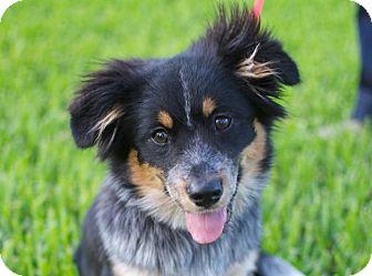 Austin Tx Australian Shepherd Meet Pippi Lou A Pet For Adoption