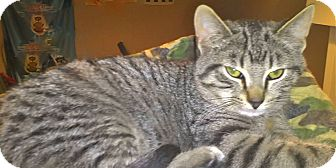 Domestic Shorthair Kitten for adoption in Milwaukee, Wisconsin - Marvel
