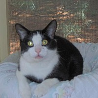 Domestic Mediumhair Cat for adoption in MECHANICSVILLE, Virginia - MICKEY MOUSE