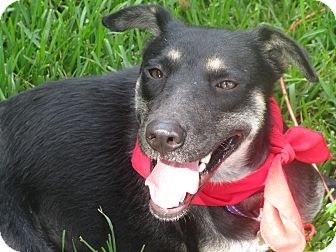 Shepherd (Unknown Type)/Collie Mix Dog for adoption in Burlington, Vermont - A - LILA