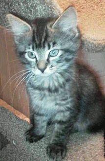 Adopt A Pet :: kittens  - Floral City, FL