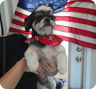Sacramento Ca Shih Tzu Meet Buddie A Pet For Adoption