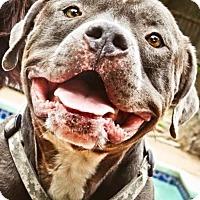 Adopt A Pet :: Spice - Irving, TX
