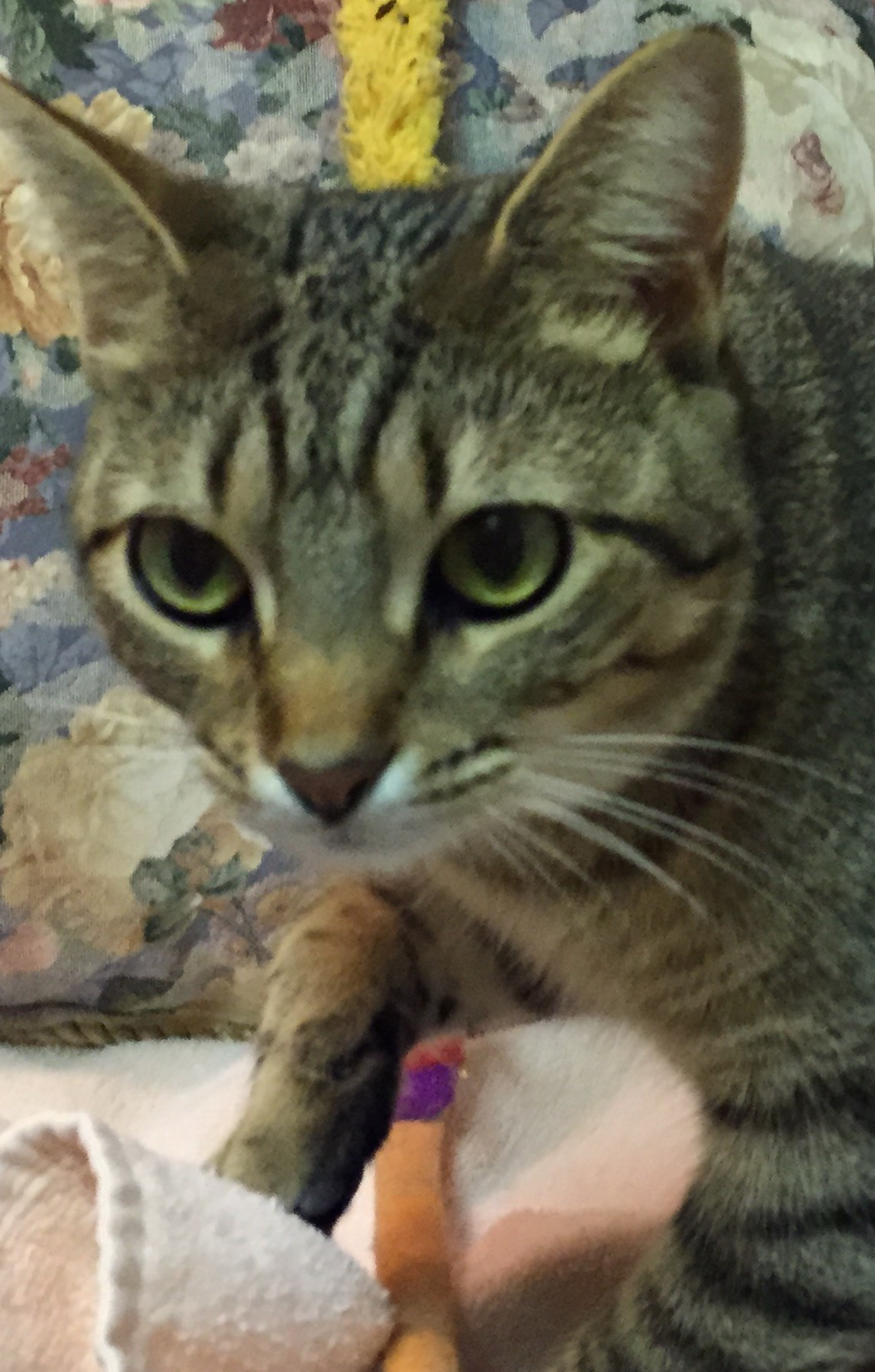 Nashville, TN - Abyssinian. Meet Shelby a Cat for Adoption.