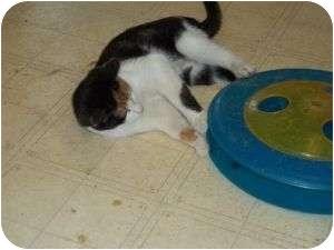 Calico Kitten for adoption in McDonough, Georgia - Minnie