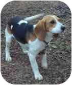 Beagle Dog for adoption in Portland, Maine - Buckey