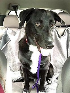 Adopt A Pet :: Sully  - Anchorage, AK