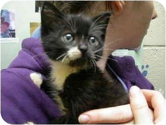 Domestic Shorthair Kitten for adoption in Saanichton, British Columbia - Luke