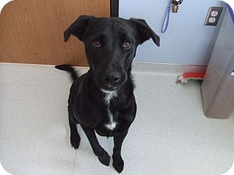 Lubbock, TX - Labrador Retriever  Meet Einstein a Pet for