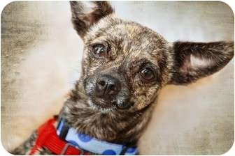 Chihuahua Dog for adoption in San Marcos, California - Joni