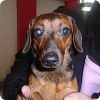 Adopt A Pet :: SiSi - Pierrefonds, QC