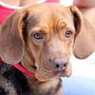 Adopt A Pet :: Harmony R Lower fee, in PA!