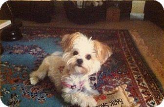 Lancaster Pa Yorkie Yorkshire Terrier Meet Tilly Knepper A Pet