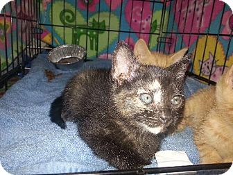 Domestic Shorthair Kitten for adoption in Satellite Beach, Florida - Mini Snickers