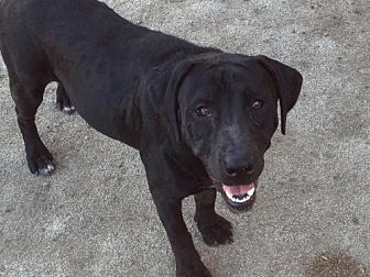 Labrador Retriever/American Staffordshire Terrier Mix Dog for adoption in Alvarado, Texas - Stuart